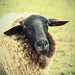 big hello from the black headed sheep  ღ