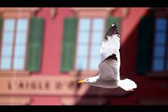 L'aigle et la mouette