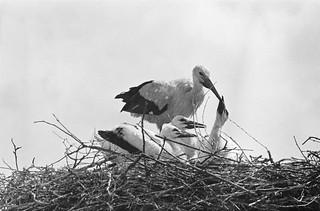 Ooievaars / Storks
