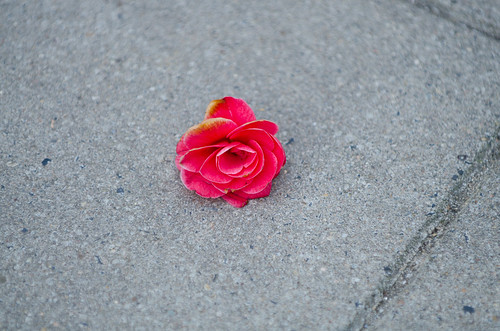 An Abandoned Red Rose on the pavement
