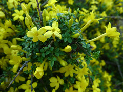 evergreen, flower, yellow, plant, subshrub, flora, rue, green,