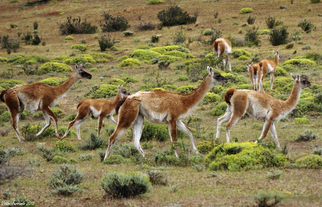 Guanacos - Patagonia - Chile