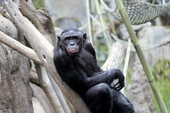 western gorilla(0.0), gorilla(0.0), chimpanzee(1.0), animal(1.0), monkey(1.0), mammal(1.0), great ape(1.0), fauna(1.0), common chimpanzee(1.0), ape(1.0), wildlife(1.0),
