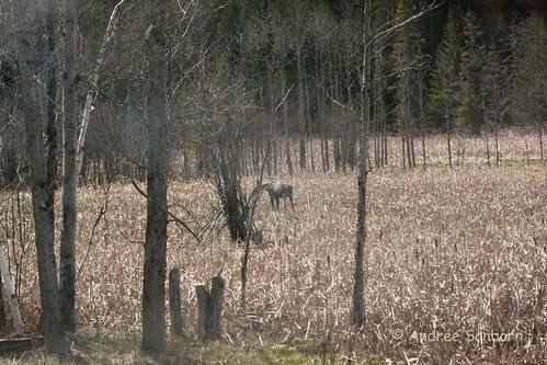 moose alcesalces runawaypond