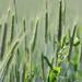 grano by foto e fornelli