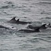 Wild Dolphins in Setúbal Bay / Atlantic Ocean