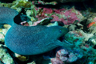 Curious Morays of Clipperton
