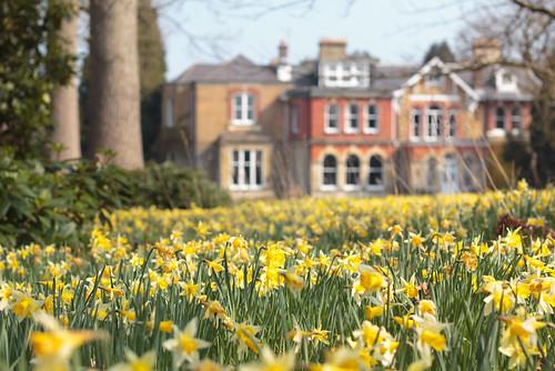 Daffodil manor