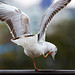 """Karate Kid"" Gull"