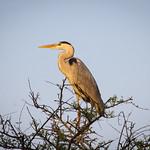 Crane in Bharatpur