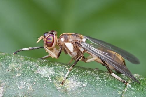 A newly emerged fly, <i>Xenaspis</i> Osten Sacken of the <i>Platystomatidae</i>?IMG_9793 copy (2)