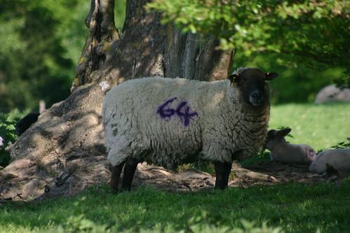 64 Sheep