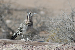 wren(0.0), sparrow(0.0), cinclidae(0.0), emberizidae(0.0), shorebird(0.0), lark(0.0), animal(1.0), nature(1.0), fauna(1.0), close-up(1.0), ruffed grouse(1.0), bird(1.0), wildlife(1.0),