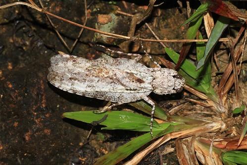 Theopompa cf. servillei (Liturgusidae)