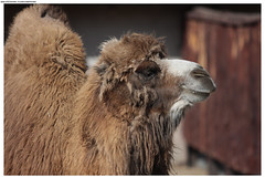 alpaca(0.0), llama(0.0), animal(1.0), mane(1.0), mammal(1.0), fauna(1.0), close-up(1.0), camel(1.0), arabian camel(1.0),
