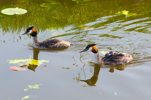 Great Crested Grebe swimming with her babies on her back