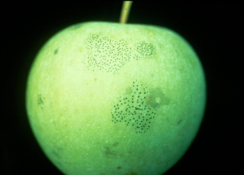 Fly speck on Golden Delicious fruit. Photo courtesy of K. D. Hickey, Penn State University.