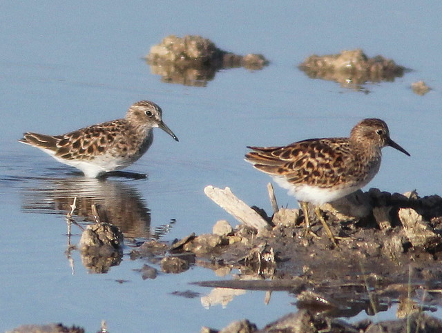 Calidris sandpipers 20110426