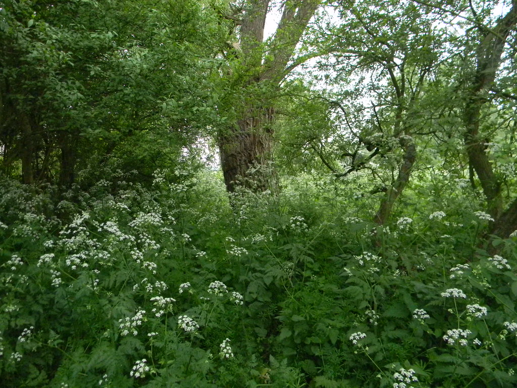 Cow Parsley Huntingdon Circular