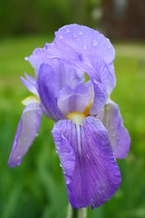 iris(0.0), eye(0.0), iris(1.0), flower(1.0), iris versicolor(1.0), purple(1.0), plant(1.0), macro photography(1.0), wildflower(1.0), flora(1.0), petal(1.0),