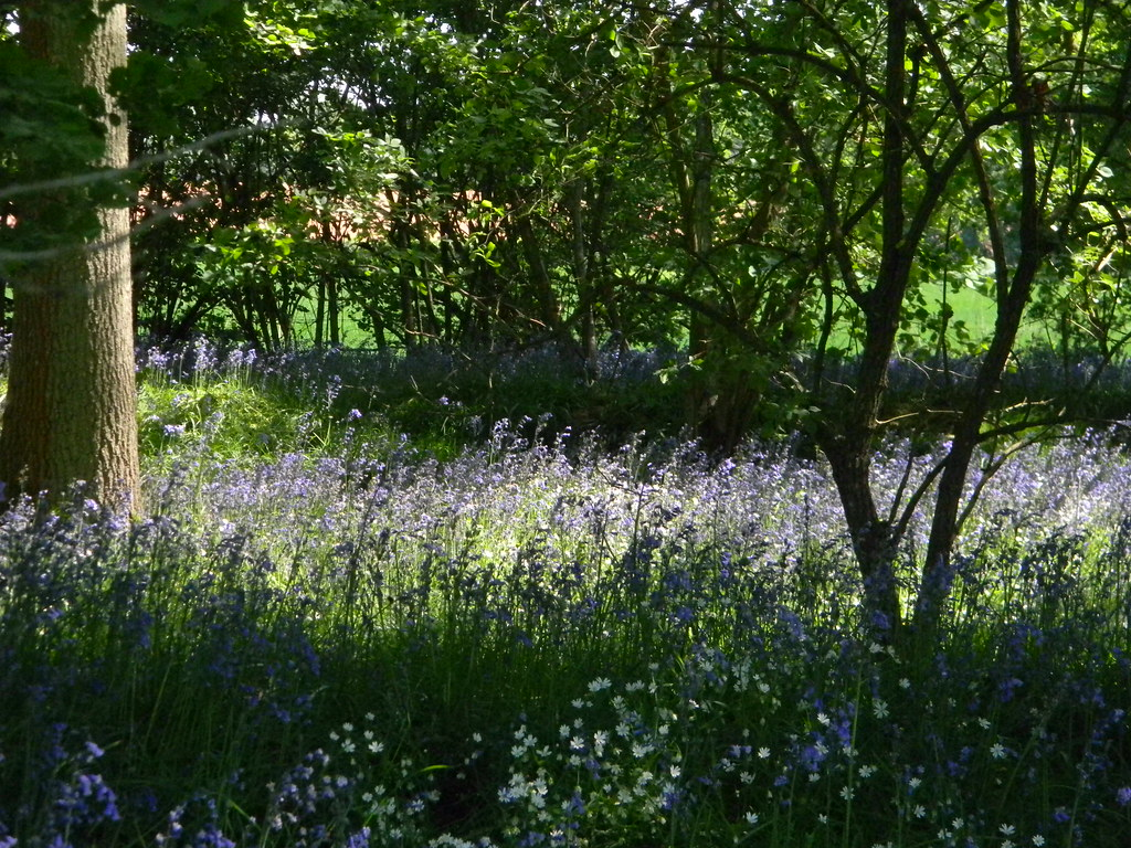 Last of the bluebells? Ockley to Warnham
