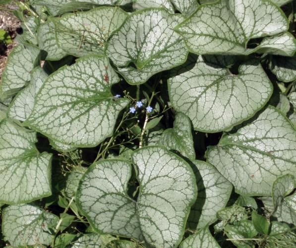 Brunnera macrophylla 5688820387_1ffcf57965_o