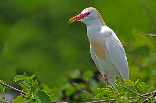 Cattle Egret breeding colors