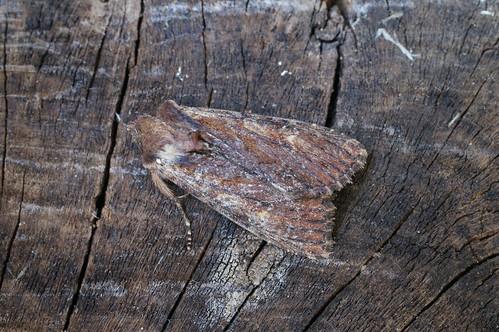 Clouded-bordered Brindle (Apamea crenata) ab. combusta
