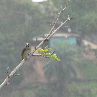 Greyish Saltator (Saltator coerulescens) in the rain