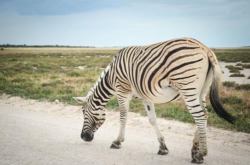Zebra, Etosha NP