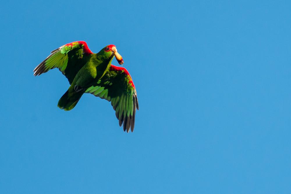 Resultado de imagem para Amazona Pretrei