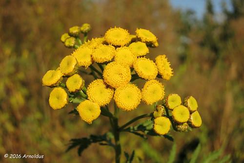 IMG_8029 - Boerenwormkruid ( Tanacetum vulgare ) - Tansy