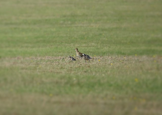 Buff-breasted Sandpiper, Golden Plover and American Golden Plover (J&C Moore)
