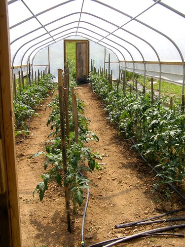 Tomatoes in the Hoop House