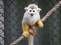 animal, monkey, mammal, squirrel monkey, fauna, old world monkey, new world monkey,