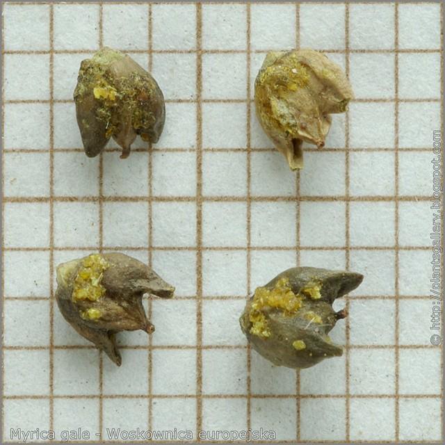 Myrica gale seeds - Woskownica europejska nasiona
