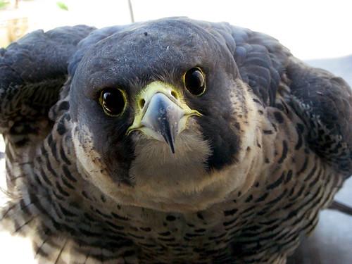 Πετρίτης: Falco peregrinus / Pergrine falcon by slagheap