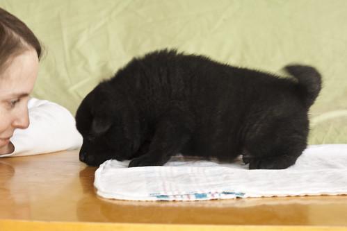 Ayu-Litter1-Day30-Puppy4-Male-c