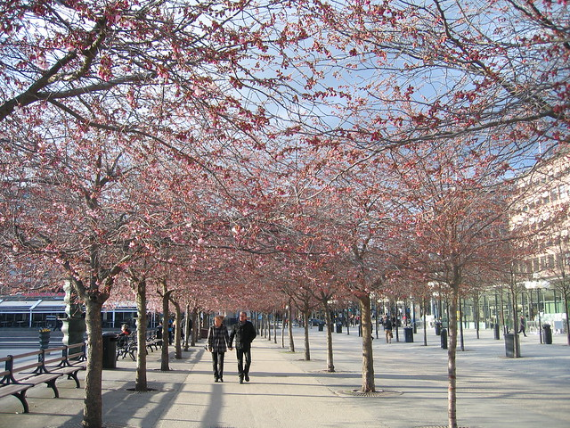 Cherry blossoms, Kungsträdgarden, Stockholm 2012 - #3