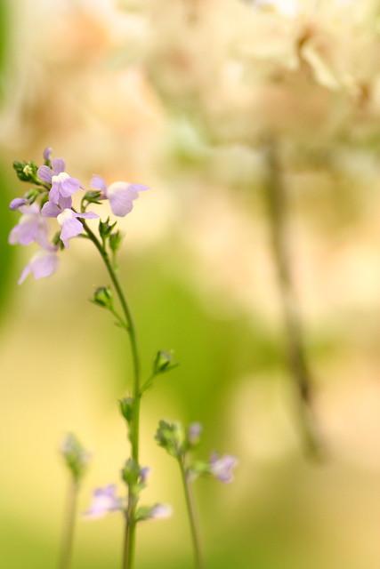 Linaria canadensis blooms under the Sidare Zakura