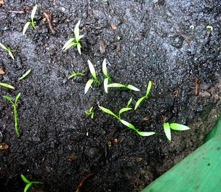 lovage seedlings