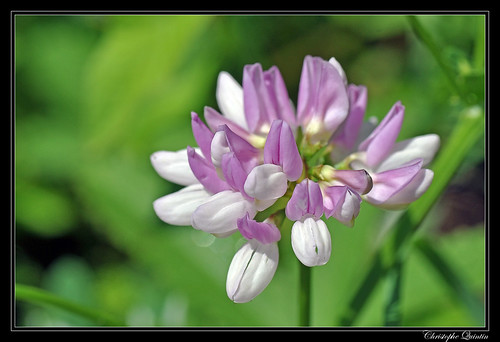 Coronille bigarée (Securigera varia)