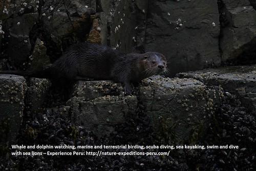 Marine otter Peru 1