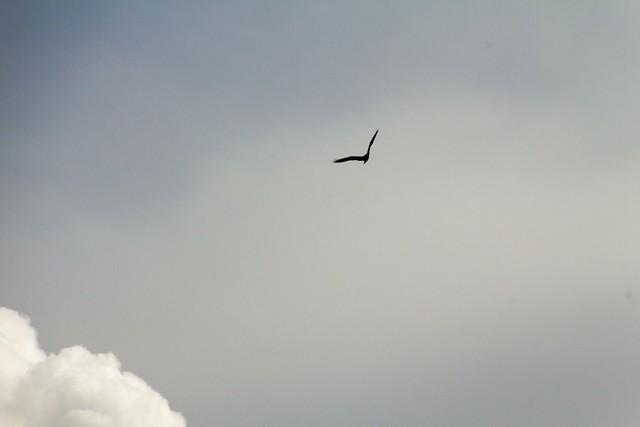 Bird of prey over Laguna de Fuente de Piedra