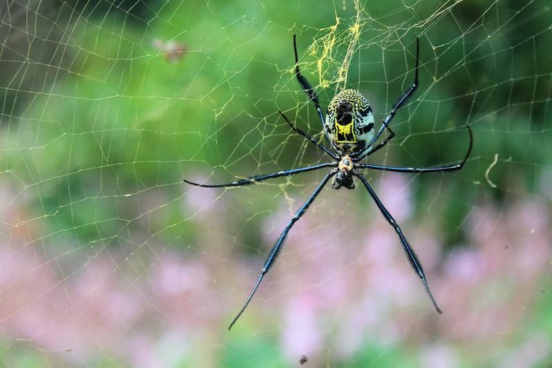 Spider - Kirstenbosch Gardens