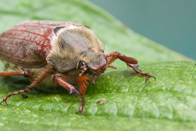 205: Cockchafer