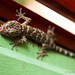 Pet gecko by saraest