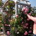 Volunteer Pruning Roses