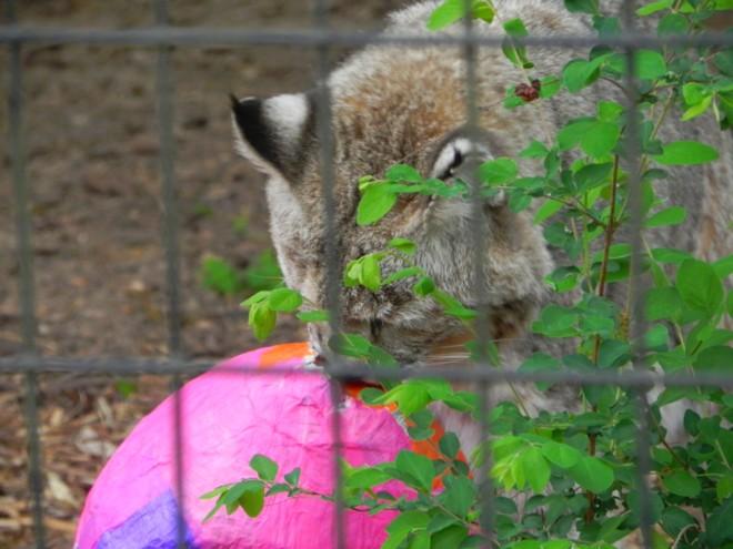 04-07-2012_Bobcat