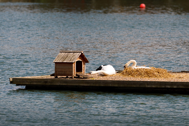 Swans building a nest on duck island at Shadwell Basin in Wapping